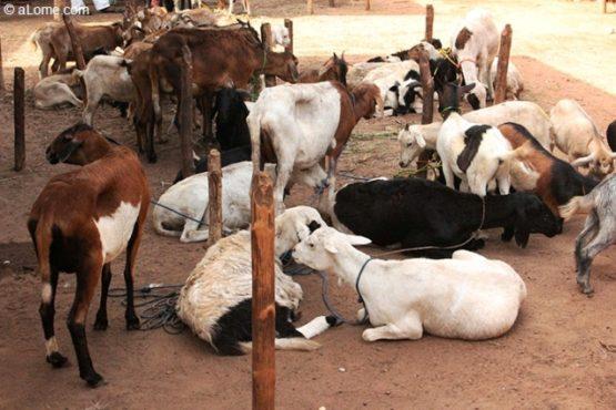 Bétail bon 555x370 - Filière bétail et viande: la deuxième édition du SIBVAO aura-t-elle lieu en mai prochain?