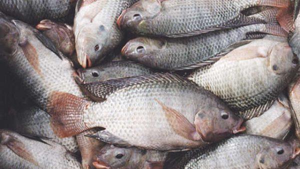 Tilapias problemes 600x338 - Le gouvernement interdit l'importation du tilapia