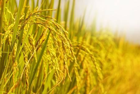 25639286 champ de riz - Le riz, une filière en plein essor au Togo