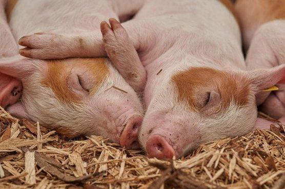 peste porcine 556x370 - Peste porcine dans un élevage à Assahoun: les mesures pour éviter la propagation