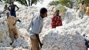prix coton graine - Campagne 2020-2021: le prix d'achat du coton graine fixé à 225F/kg