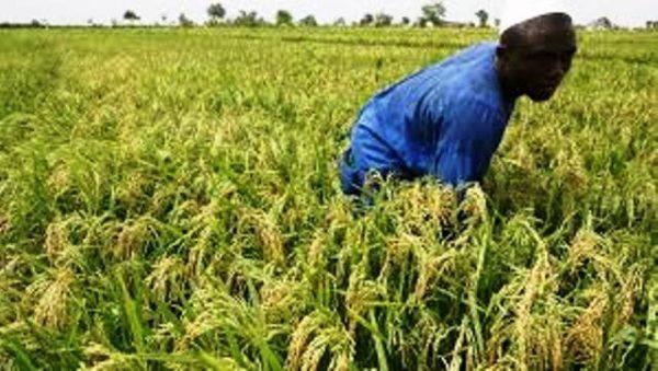 Riz 600x339 - Filière riz: le Togo table sur une production de 817 004 tonnes à l'horizon 2030