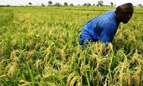 Riz 600x362 - Filière riz: le Togo table sur une production de 817 004 tonnes à l'horizon 2030
